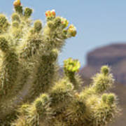 Teddy Bear Cholla Cactus With Flower Poster