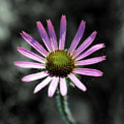 Tennessee Cone Flower Poster