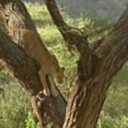 Terengeti Lioness Poster