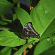 Terrific Eyespots On A Owl Butterfly On Leaves Poster