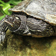 Tess The Map Turtle #2 Poster