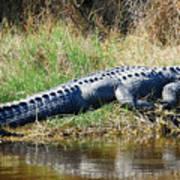 Texas Alligator Poster