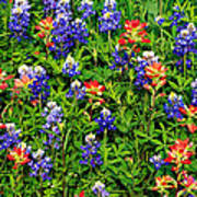 Texas Bluebonnets And Indian Paintbrush Poster