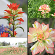 Texas Indian Paintbrush Collage Poster