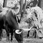 Texas Longhorn Steer In Black And White Poster