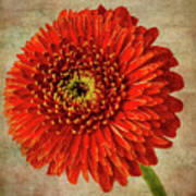Textured Red Daisy Poster