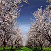 The Almond Bloom Poster