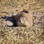 The Amazing Black-tailed Prairie Dog Poster