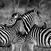 The Amazing Shot Of Zebra Poster
