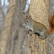 The American Red Squirrel Poster