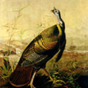 The American Wild Turkey Cock Poster