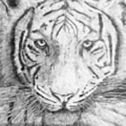The Amur Tiger Poster