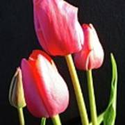 The Appearance Of Spring - Tulips Poster