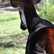 The Beautiful Okapi 02 Poster