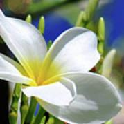 The Beautiful Plumeria  Poster