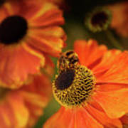 The Bee And The Helenium Poster