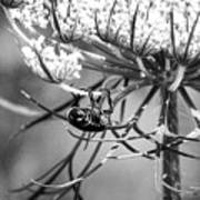 The Beetle Acrobat Black And White Poster