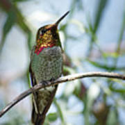 The Bird In The Foil Mask -- Anna's Hummingbird In Templeton, California Poster
