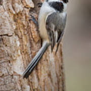 The Black Capped Chickadee Poster