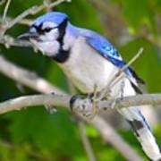 The Blue Jay Poster by Stephanie  Varner