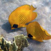 The Bluecheeked Butterflyfish Poster