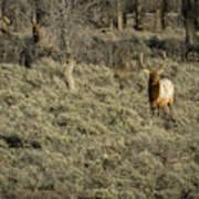 The Bull Elk Poster