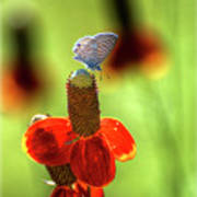 The Butterfly And The Coneflower Poster