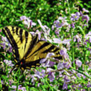 The Canadian Tiger Swallowtail Poster