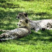 The Cheetahs Poster