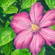 The Clematis Flower Poster