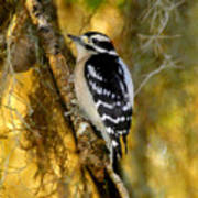 The Downy Woodpecker Poster