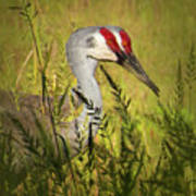 The Duo - Two Sandhill Cranes Poster