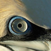 The Eye Of A Northern Gannet Poster