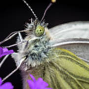 The Eye Of The Green-veined Butterfly. Poster
