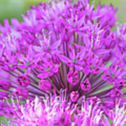 The Full Bloom Of Flowering Ornamental Onion Poster