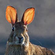 Golden Ears Bunny Poster