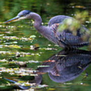 The Great Blue Heron Hunting For Food Poster