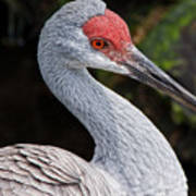The Greater Sandhill Crane Poster