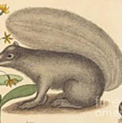 The Grey Fox Squirrel (sciurus Cinereus) Poster