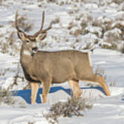 The Gtnp Mule Deer Buck Poster