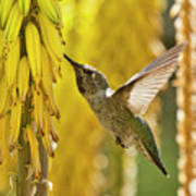 The Hummingbird And The Yellow Aloe  Poster