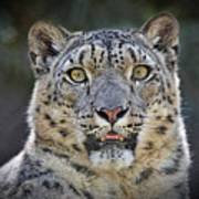 The Intense Stare Of A Snow Leopard Poster