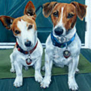 The Jack Russel Duo Poster