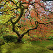 The Japanese Maple Tree In Spring Poster