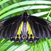 The Largest Butterfly In The World Poster