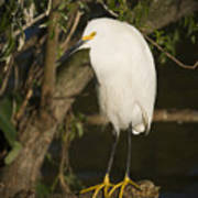 The Lonely Snowy Egret Poster