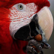 The Macaw Poster