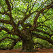 The Magical Angel Oak Tree Panorama  Poster