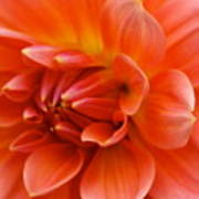 The Opening Of A Dahlia Poster