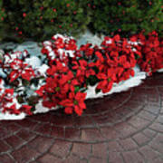 The Path To Christmas - Poinsettias, Trees, Snow, And Walkway Poster